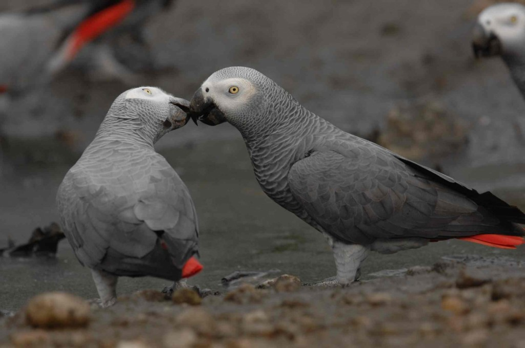 african-grey-parrot_reto_kuster