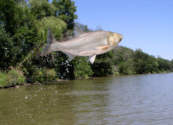 asian carps harm to the ecosystem essay In the great lakes ecosystem, asian carp will be the fittest, fastest, and fattest, but they'll also be lonely because few other fish will survive once the carp move in stay up-to-date with the.